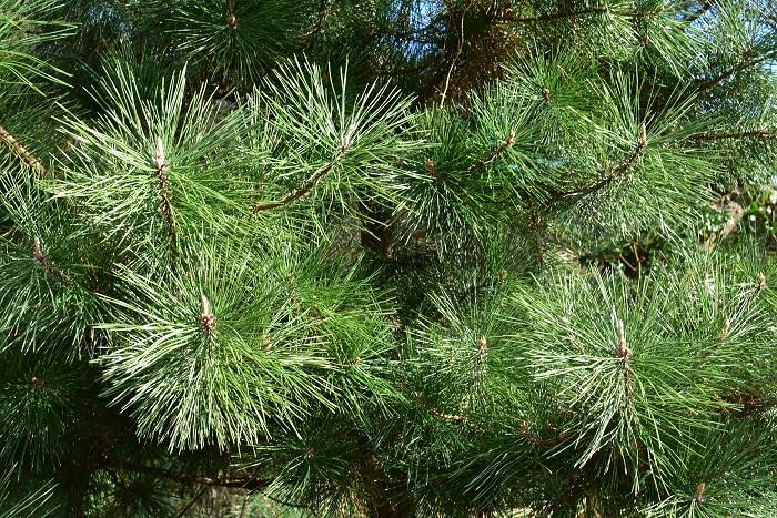 松は一年中グリーンの葉を絶やさない常緑樹であることから、不老不死や長寿を象徴するとされてきました。多くの植物が葉を落とす冬にグリーンを絶やさない松は神聖視され、魔除けの力もあると信じられてきました。クリスマスの時期に常緑樹を飾るのと同じ理由です。
