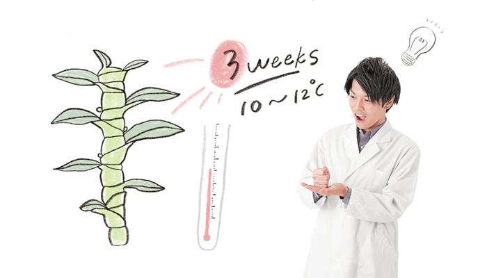 デンドロビウムのノビル系は、10~12℃の低温に3週間さらされることで花芽を作り出します。ポイントは、低温になる前にバルブを充実させることが大切。また、低温と同時に乾燥気味に管理し、よく日光浴させることで花芽形成が向上します。