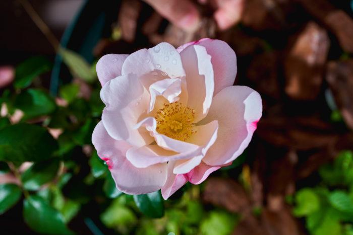 澄んだ美しい桃色に、濃い桃色の絵具を染み込ませたような模様がとってもキュートなバラでした。 10月~11月はちょうど四季咲きのバラの開花期。 朝晩の気温が下がるので、花が通常より長持ち。それも秋バラの魅力のひとつです。