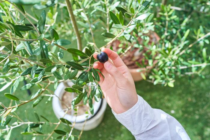 オリーブは違った品種を2本以上植えると、実がなる確率がアップするということをご存じですか。  実際に編集部でも2本ずつ育てており、隣同士で置くようにしています。オリーブの実をつけたいというときはぜひお試しください。自家製のピクルスをつけたり、オリーブオイル作りにチャレンジしてみるもの楽しそう! ちなみに編集部員は、愛くるしい小さな実を収穫するのに躊躇してしまい、現在もそのまま実がついたままにしています…。