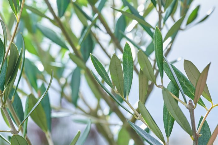 特徴的は樹形と葉の形。他の植物にはなかなか見られないようなスモーキーでドライな葉色と枝色、幹の質感は魅力たっぷり。風が吹くときらきらと銀灰色に輝きます。