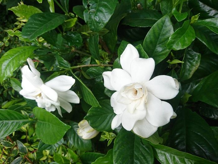 学名:Gardenia jasminoide 分類:常緑低木 樹形:木立型 花期:6月~7月 クチナシは、初夏に甘い香りの真白な花を咲かせる常緑低木です。クチナシの芳香は古今東西人気があり、香水や香料にもよく使用されます。クチナシには一重咲きと八重咲きがあり、さらにコクチナシといって花のサイズが小さな品種もあります。