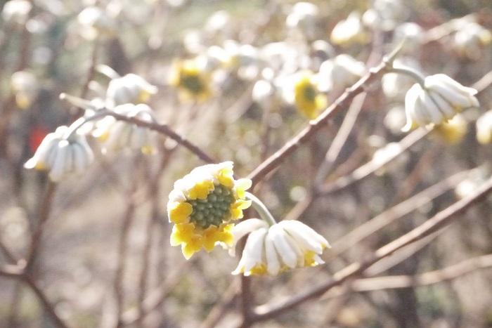 学名:Edgeworthia chrysantha 分類:落葉低木 樹形:木立型 花期:2月~3月 ミツマタはどこまでいっても枝が3つに分岐する、とても変った特徴を持つ落葉低木です。梅の花が咲く頃にミツマタの花も咲き始めます。カスタードクリームのような明るいクリーム色の花を、枝の先に俯くように咲かせます。花には赤花種もあります。