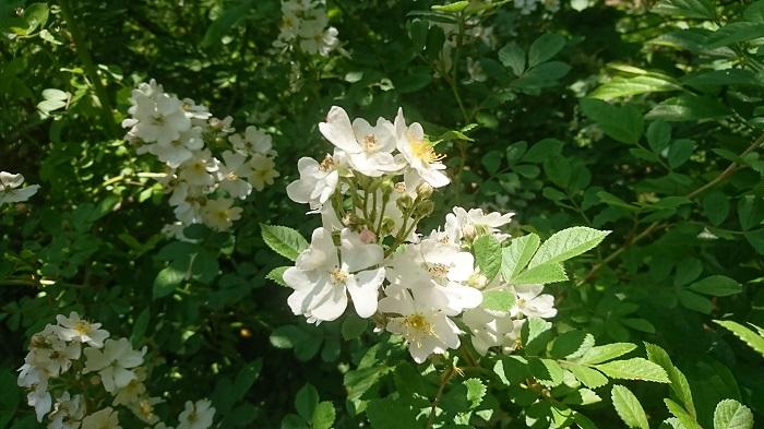 学名:Rosa multiflora 分類:落葉低木 樹形:ブッシュ型 花期:4月~5月 ノイバラは春に小さな一重の花を咲かせる落葉低木です。株元から枝分かれして茂みのような樹形に生長します。ノイバラは秋に赤く熟す小さな実も可愛らしく、クリスマスリースなどにも使用されます。