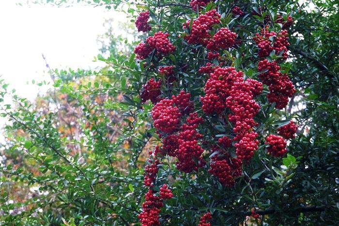 学名:Pyracantha 分類:常緑低木 樹形:木立型 観賞期:11月~2月 ピラカンサは秋から冬にかけて、真赤に熟す実が美しい常緑低木です。ピラカンサの果実は食用にはできませんが、枝に長く実が残るので、冬の間中目を楽しませてくれます。