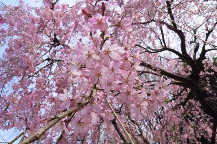 春分の日とは? 春分の日とは、国で定められた国民の祝日の一つです。春分の日は何の為の祝日かというと、「自然をたたえ、生物をいつくしむ」と目的が定められています。  さらに春分の日とは、太陽が真東から上がって真西へ沈む為、昼の明るい時間と、夜の暗い時間がほぼ同じくらいになるという日です。夜が長かった冬が終わり、段々と日が長くなって、春へと向かい始める日です。  二十四節気の春分とは? 二十四節気では、立春から始まって4番目の節気(中気)になります。二十四節気とは、太陽の位置を基準にして、一年を15日前後の24の時期に分けたものです。昔に中国から渡ってきた暦です。  2021年の春分の日はいつ? 春分の日は毎年変わります。2021年の春分の日は3月20日土曜日です。祝日が土曜日に当たった場合は月曜に振替えられることはありません。ちょっと残念です。