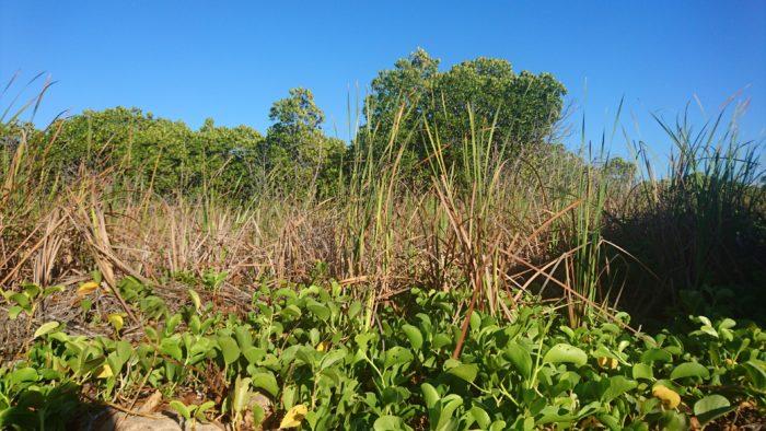 復路は往路と違った景色や植生をチェックするためもあり海岸線を走ることにした。途中マングローブとガマとグンバイヒルガオが共生する中々見ることができない光景を見ることができた。