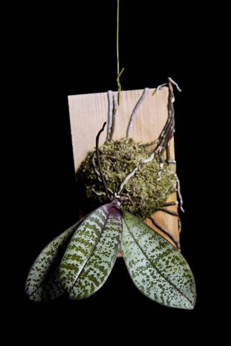 ファレノプシス・シレリアナ Phalaenopsis schilleriana フィリピンに自生する原種のコチョウラン。グレーの斑模様が特徴な葉で、不思議な美しさを奏でている。板やコルクに着生させると雰囲気が尚良い。桜と見間違えるような、透明感のあるピンク花を枝打ちした茎から咲かせた姿は実に見事。