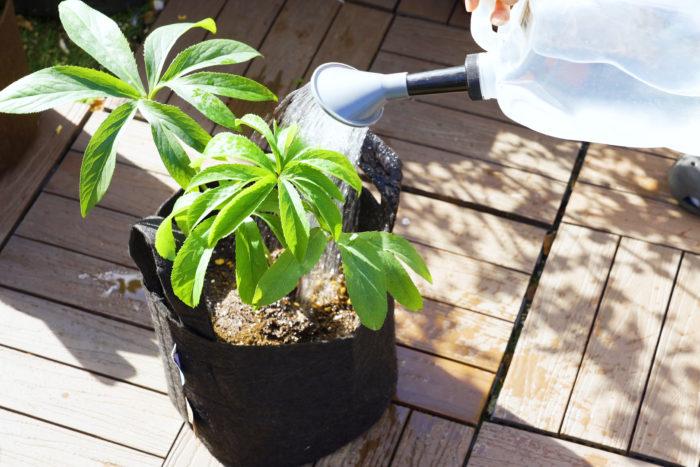 植え替えが終わったたっぷり水やりします。