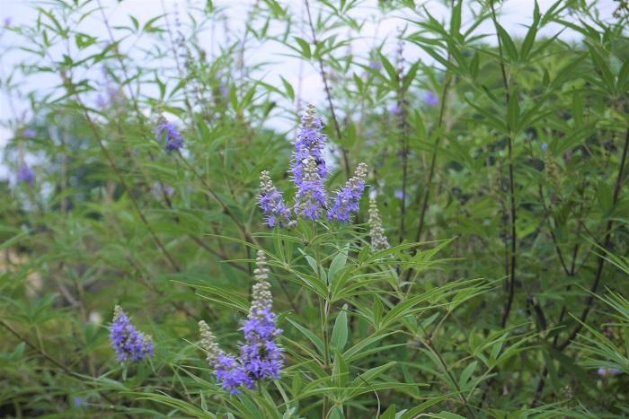 学名:Vitex agnus-castus 分類:落葉低木 樹形:木立型 花期:7月~9月 セイヨウニンジンボクは夏に薄紫色の花を咲かせる落葉低木です。真夏の暑い盛りに涼し気な色の花を咲かせるので、庭木として人気があります。
