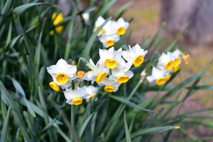 水仙のなかでもニホンスイセンは、まだ寒い冬に香りの良い花を咲かせます。春そのもののようなすっきりとした芳香と、凛とした花姿が相俟って、古くからお正月に飾る花として愛されてきました。