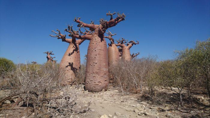 この辺りは、石灰岩土壌のため、同じ種であってもこのようなタル型の形状になっている。それも物語や童話に出てくるような愛くるしいユニークな形である。それもこんなにも沢山・・・。感動そのものである。