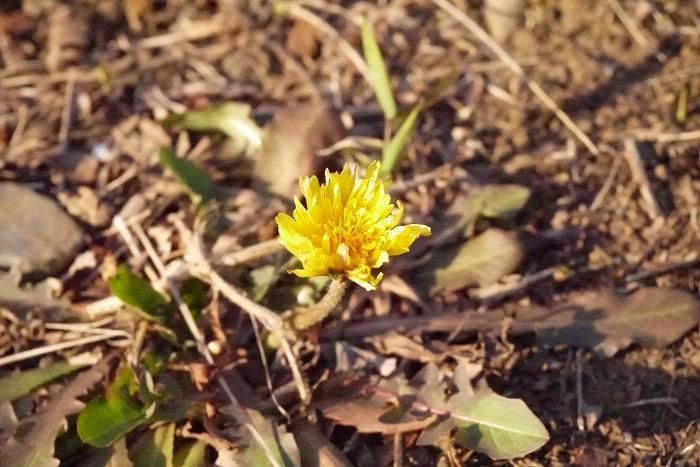 春分の日あたりから、タンポポの花は咲き始めます。道端で元気よく咲く咲いている黄色のタンポポには立ち止まって眺めてしまうような可愛らしさがあります。