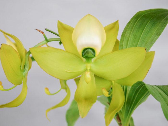 シクノチェス・ワーセウィッチ 'ビッググリーン' Cycnoches Warscewiczii 'Big Green' 本属の中でも最大級の花で、ライムグリーン色が美しい。香りも強く見応えがありますが、増えにくいのが惜しい。
