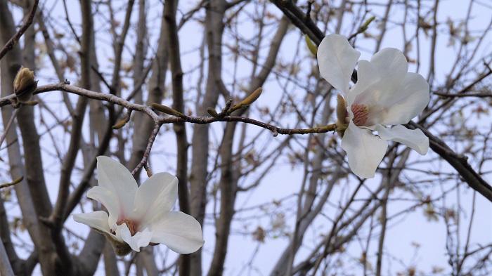 コブシの花は春に枝の上の方で咲き誇ります。私たちの頭上で咲いているのでわかりませんが、実はとてもいい香りの花を咲かせます。コブシを切り花で飾ると、今まで知らなかったコブシの花の香りを楽しむことができます。コブシの花は春分の頃に流通しています。