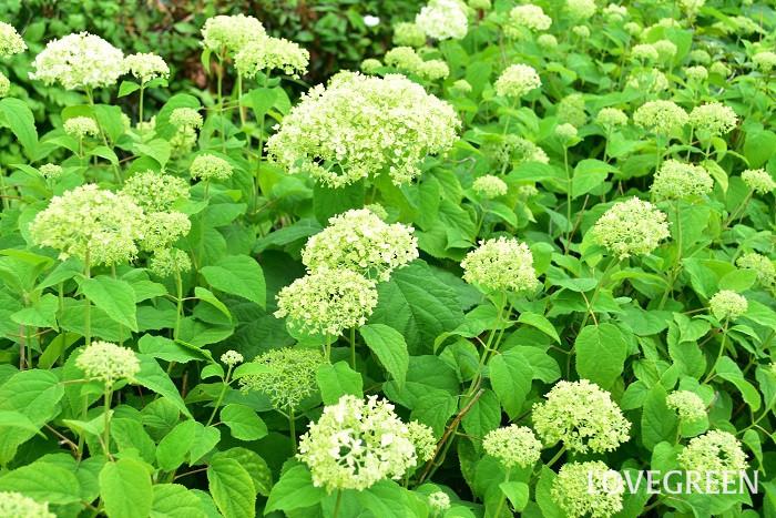 学名:Hydrangea arborescens 'Annabelle' 分類:落葉低木 樹形:木立型 花期:6月~7月 アナベルは、セイヨウアジサイやアメリカアジサイとも呼ばれる、アジサイの仲間の落葉低木です。アナベルの花は咲き始めはグリーン、咲き進むに従って真白な大きな毬のようになります。