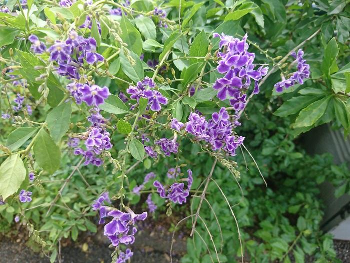 学名:Duranta repens 分類:常緑(落葉)低木 樹形:ブッシュ型 花期:6月~10月 デュランタは、白や紫色の小花を房状に、枝から下げるように咲かせる姿が美しい常緑(落葉)低木です。熱帯植物ですが、関東以西の暖かい地域では戸外でも越冬します。