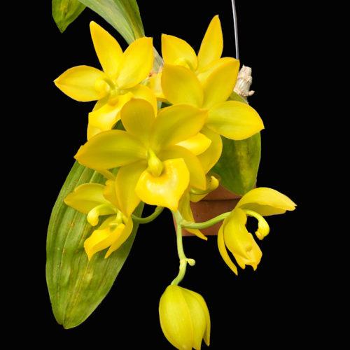 シクノデス・スーパースワン Cycnodes Super Swan タケノコ系の最新交配種。大柄な黄金色に輝く花を何十輪も咲かせる姿に迫力あり。気持ちが明るくなる美しさ。