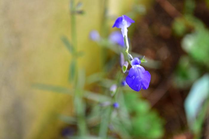 晩夏から秋にかけて無数のコバルトブルーの花が次から次へと開花します。大株になりますが、葉が細葉なので繊細な雰囲気があります。花が終わった茎はその茎の根元から剪定しましょう。