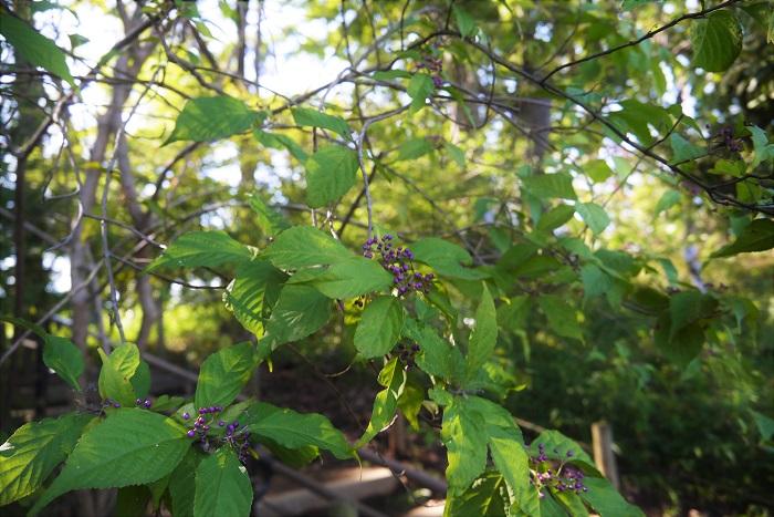 学名:Callicarpa japonica 分類:落葉低木 樹形:木立型 観賞期:9月~11月 ムラサキシキブは秋に紫色に熟す実が可愛らしい落葉低木です。ムラサキシキブの花はとても小さく目立ちませんが、春に淡いピンク色の花を咲かせます。  ムラサキシキブによく似た木でコムラサキがあります。違いは、ムラサキシキブよりもコムラサキのほうが枝いっぱいに実を付けます。さらにムラサキシキブは木立型で生長するのに対し、コムラサキはブッシュ型です。