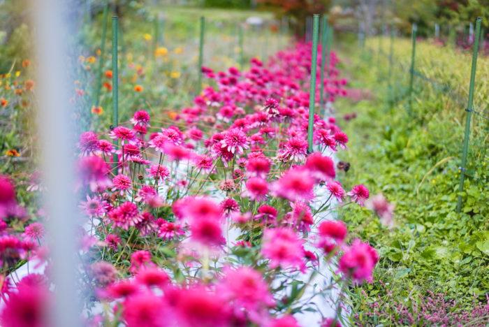 10月の中旬は、ちょうど露地栽培のお花の終盤で、秋真っ盛りの中で様々な草花が育っていました。
