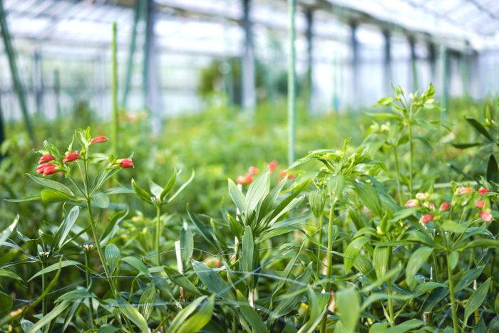 ここから気温が下がり、霜がおりはじめると露地栽培の花が終わりになります。ハウスの中では、たくさんのアルストロメリアが準備しています。パッと目を引く鮮やかな品種、少しユニークな咲き方の品種。どれも可愛い♡