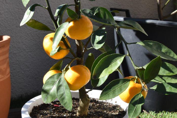 編集部のバルコニーのみかんの木も、つやめくオレンジ色の実がたわわと実っていました。いよいよ収穫のときです。