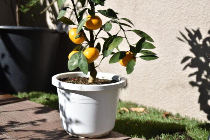 編集部ではみかんの木を植木鉢で育てています。 実つきもよく育てやすいうえに、収穫も簡単で手軽にできるのもポイントです。初夏に香りの良い可憐な花を咲かせた後、まだ青々とした実を発見した瞬間から、今か、今か、と待ちわびてきた編集部員。 秋から冬にかけてのちょうど今くらいの時期に、フレッシュなオレンジ色の甘酸っぱい果実を実らせます。