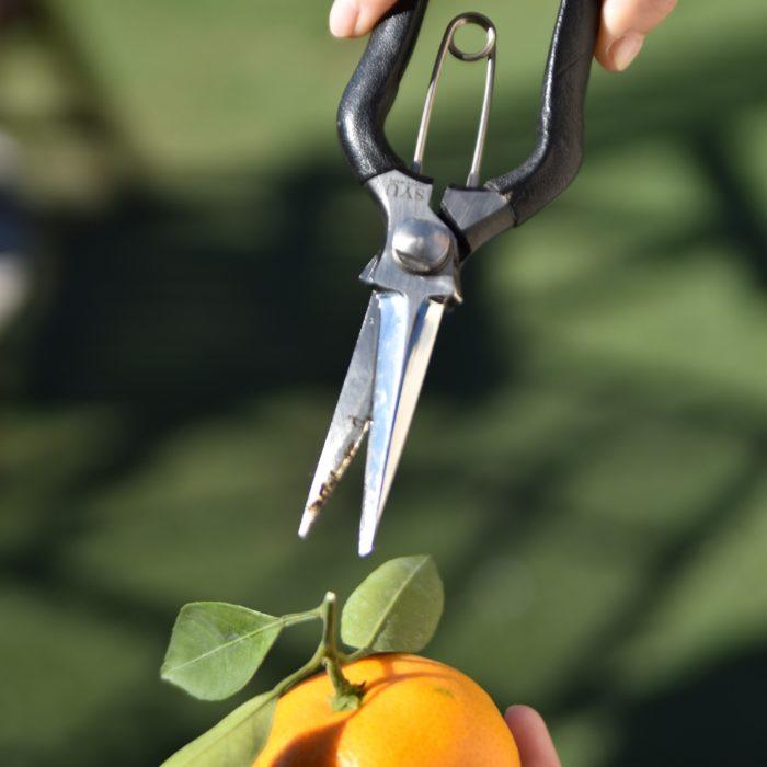 編集部は収穫に剪定鋏を使用。使用したのはSYUの剪定鋏。切れ味抜群で使いやすく、編集部員も愛用中(ちなみに写真の剪定鋏は編集部員の私物です!)。