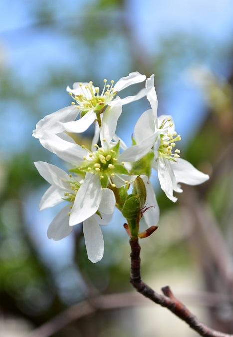 ジューンベリーの花は直径1~2㎝程度、花びらが5枚あり桜のような形状をしています。花びらが散ると、中心が少しずつ膨らんできて実になります。