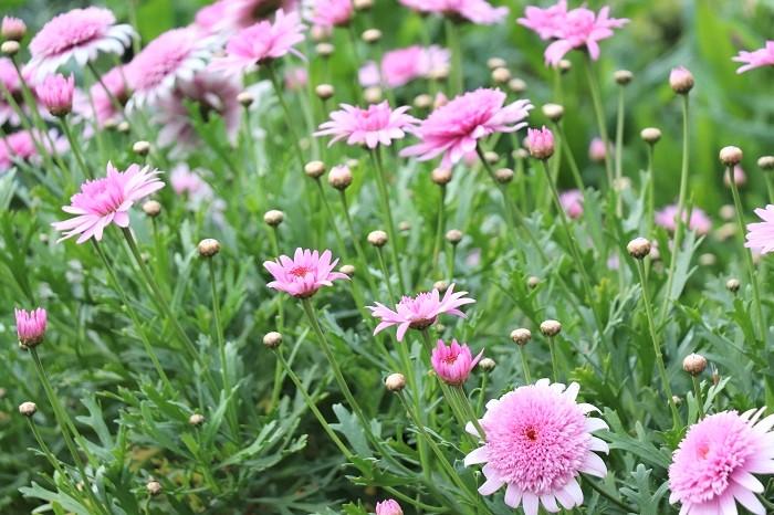 マーガレットは5月頃に開花がひと段落したら、一度切り戻しをして草丈を整えます。切り戻ししないでそのままにしてしまうと、ひょろひょろと伸びて弱い株になってしまいます。梅雨前に切り戻すことで蒸れや過湿を防ぐこともできます。  秋も同じく開花後に切り戻しを行います。草丈を半分くらいに切り戻すと翌春に新芽が出やすい状態になり、たくさんの花を咲かせてくれます。