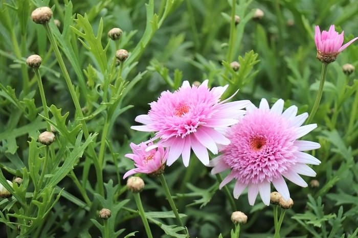 これはタンポポ咲きと言われるマーガレット。咲き進むにつれて、花の中心部がタンポポのように丸くなっていく姿が可愛らしいタイプです。  マーガレットの咲き方は、その他に花の中心がアネモネのようにこんもりと咲くアネモネ咲きと言われる品種もあります。