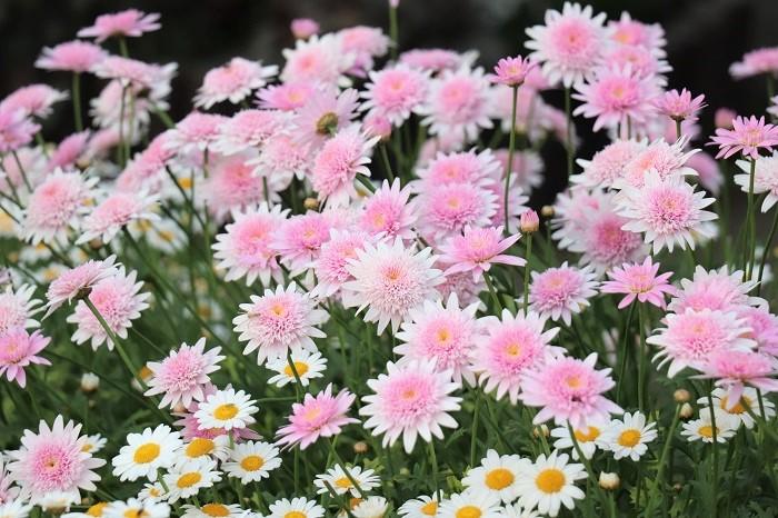 マーガレットは庭植えにするとワイルドにのびのびと育ち、鉢植えや寄せ植えに使うとコンパクトに楽しめます。温暖地では秋から春まで長い期間花を咲かせ、上手に夏越しできると毎年花を楽しむことができます。ぜひ、お気に入りのマーガレットをみつけて育ててみてはいかがでしょうか。