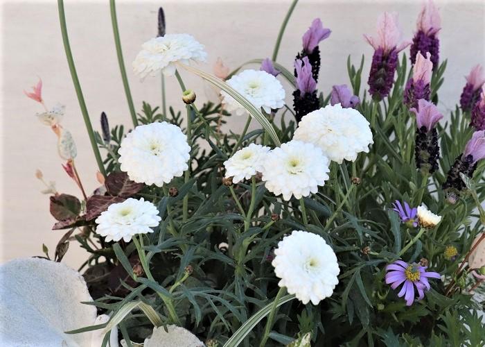 この写真は白い八重咲きのマーガレット。ポンポン咲きとも言われます。コロンとした丸みがとてもラブリーです。