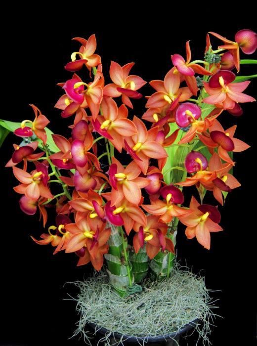 シクノデス・タイワンゴールド 'タイワンオレンジ' Cycnodes Taiwan Gold 'Taiwan Orange' 艶のある赤褐色が目立つ花。ジャスミン系の香りも楽しめる。輪数も多く咲きやすいため、写真のような咲く姿も夢じゃない。