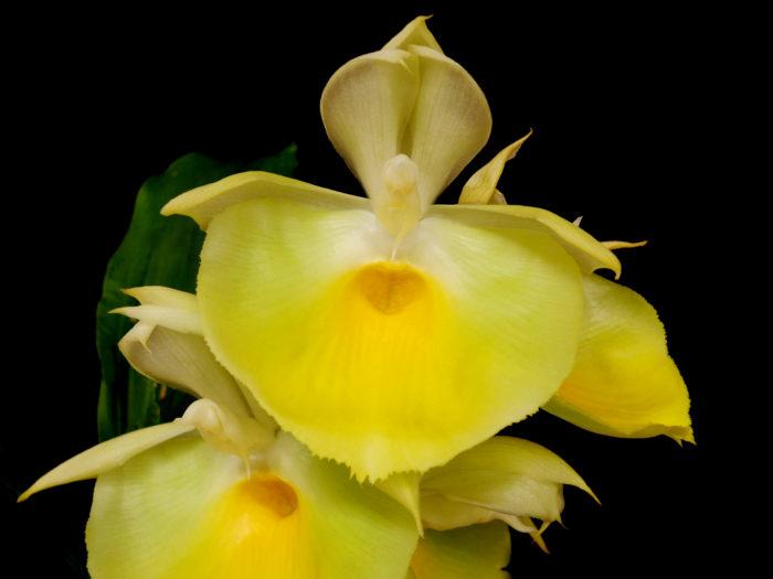 カタセタム・ピレアタム Catasetum pileatum カタセタム属で最も人気があり、入手しやすい原種。大きなお椀上のリップが特徴的。不定期咲きで年に数回咲くことがある。