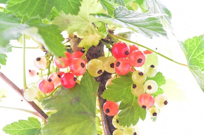 学名:Ribes rubrum 分類:落葉低木 樹形:木立型 収穫期:6月~7月 フサスグリは初夏に赤く半透明な宝石のように美しい果実を実らせる落葉低木です。フサスグリの果実は酸味が強く生食には向きませんが、ジャムやシロップなどにして楽しめます。