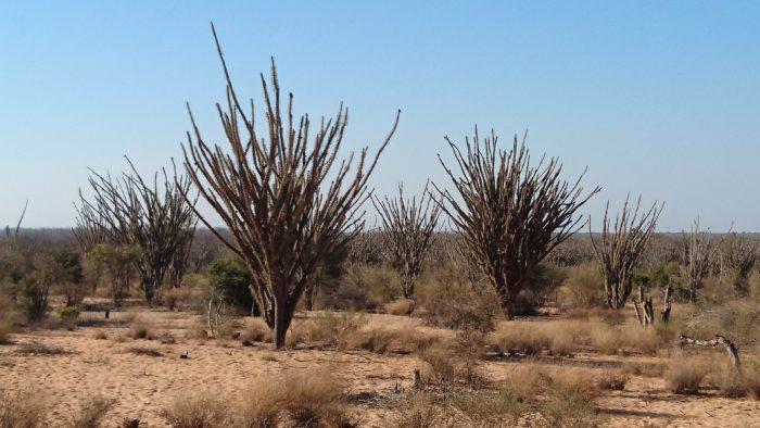 車を走らせているとディディエレア マダガスカリエンシスの林が見えてくる。恐らく樹齢100年ぐらいと思われる。これもマダガスカルを代表するネイティブプランツである。