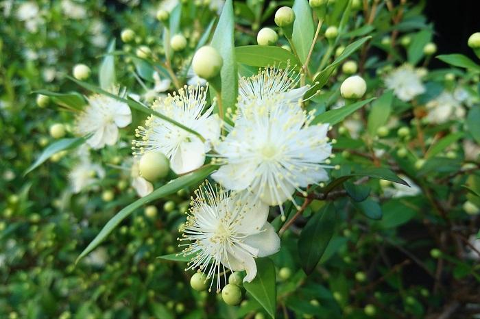 学名:Myrtus communis 分類:常緑低木 樹形:木立型 花期:5月~6月 マートルは和名をギンバイカ(銀梅花)といい、初夏に梅に似た花を咲かせる常緑低木のハーブです。光沢のある葉に芳香があります。