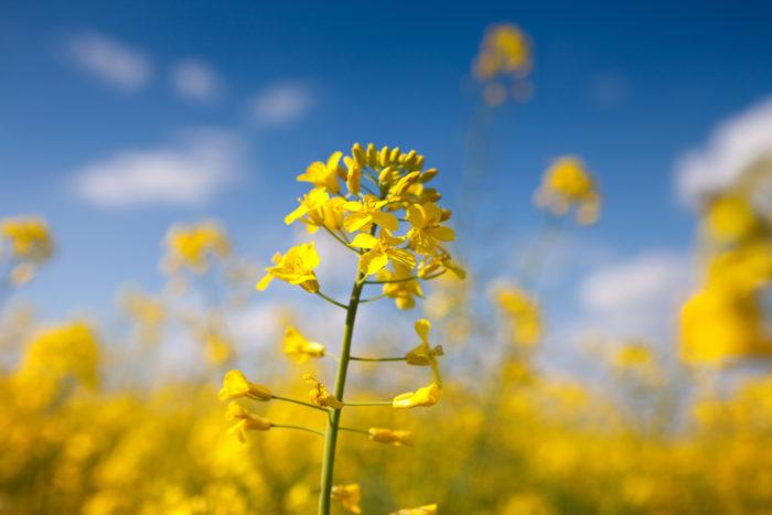 菜の花の柔らかい黄色は、見ているだけで明るい気持ちになれます。春を告げる花として、お彼岸のお墓参りに持って行くのも素敵です。