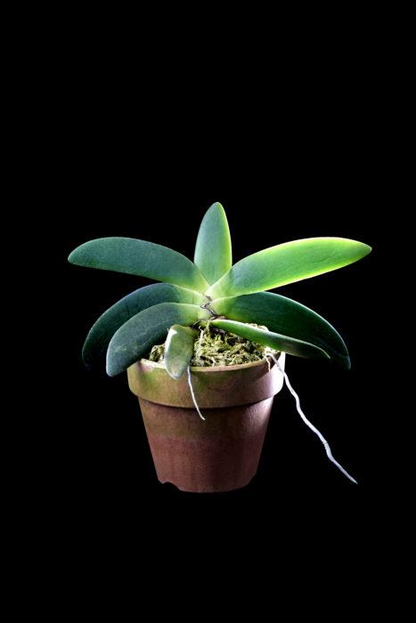 アングレカム・レオニス (マダガスカルタイプ) Angraecum. leonis (Madagascar Type) 多肉質な分厚い葉がギュッとまとまりある姿で可愛らしい!花も純白で香りのある美花。