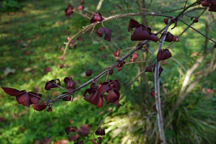 学名:Euonymus alatus 分類:落葉低木 樹形:木立型 観賞期:10月~11月 ニシキギの枝は、秋に真赤に紅葉する葉が美しい落葉低木です。ニシキギの枝には板状の翼(よく)があるのが特徴です。このため、枝がところどころ欠けているかのような独特の風合いをしています。刈り込んで小さく仕立てることもできますが、自然樹形も美しい庭木です。