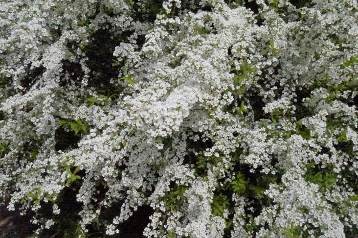学名:Spiraea thunbergii 分類:落葉低木 樹形:ブッシュ型 花期:4月 ユキヤナギは春に真白な小さな花を枝いっぱいに咲かせる姿が美しい落葉低木です。ユキヤナギはブッシュ状にこんもりと繁り、さらに枝を柳のように柔らかく下垂させます。ユキヤナギにはピンク色の花を咲かせる品種もあります。