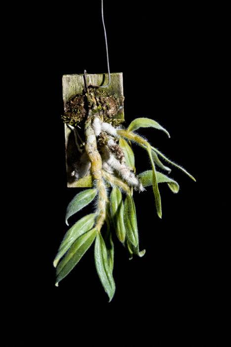 デンドロビウム・セニレ Dendrobium. senile  モフモフ具合にぞっこん!洋ラン随一のバルブに白い軟毛が生える。東南アジアに自生。