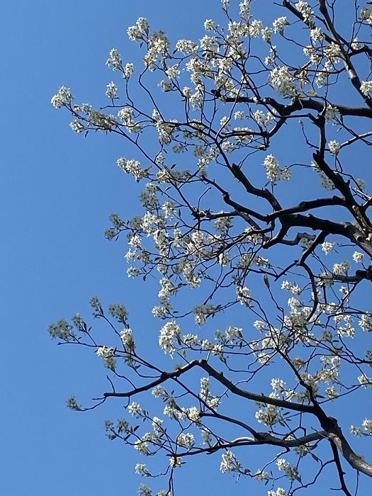 ジューンベリーの花の見頃は3月下旬から4月上旬です。桜のソメイヨシノと同様に、葉より先に花が開花し、花が散る頃に葉が芽吹きます。