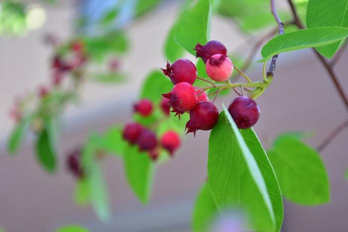ジューンベリーは名前の通り6月に赤い果実をつける落葉樹です。春に白い花が咲いた後に、初夏に赤い実が実ります。花や実以外にも、新緑や秋の紅葉と四季折々に楽しむことのできる果樹です。ジューンベリーの名前は、6月(June)に果実が実るのでこの名前がつきました。  ジューンベリーは耐寒性・耐暑性があり、自家結実性があるので1本で収穫することができます。  ジューンベリーの花は直径1~2㎝程度と小さく、花びらが5枚あり桜のような形状をしています。ジューンベリーの花の見頃は3月下旬から4月地上旬です。桜のソメイヨシノが咲き始めるよりも少し早く満開を迎えます。華奢な枝の先に小さな花をたわわに咲かせるのが特徴です。風で散ってしまう花びらの儚さも魅力の一つです。