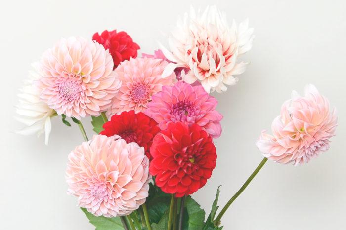 華やかで麗しい花姿が人気のダリアは、主役級の切り花として毎年様々な品種がお花屋さんに並びます。生ける時はなるべく葉は取り、花に水分が行くようにしましょう。また、ダリアの茎は空洞になっているので切り戻す際は茎を潰さないよう、斜めではなく、まっすぐに切りましょう。