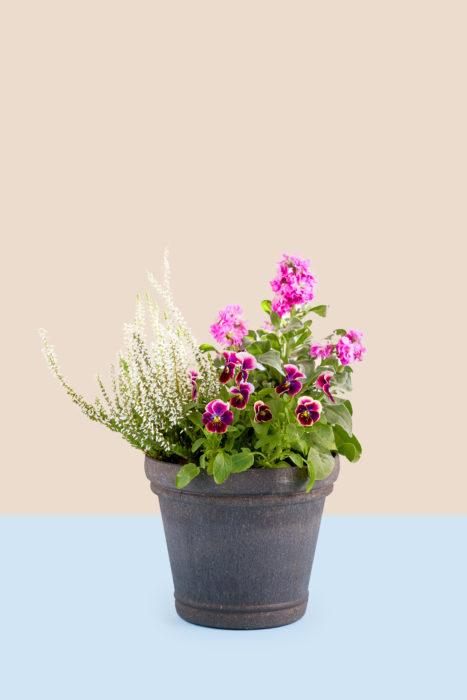 鉢と花色は深みのある色をチョイス。全体がダークな印象になりすぎないように、白いカルーナをプラスしています。管理のポイントは咲き終わったビオラの花がらをこまめに摘むこと。花がら摘みは茎からカットしましょう。日当たりの良い屋外で管理すると良いです。