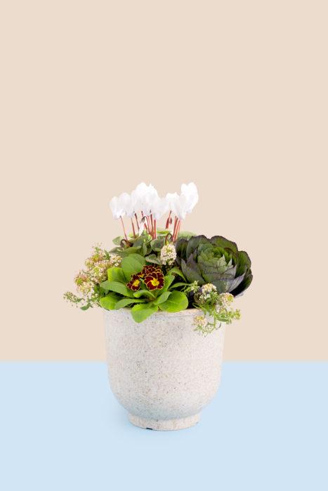ポイントは色合わせ。一見バラバラになりそうな組み合わせでも、キーになる色を決めるだけで統一感が生まれます。背の低いプリムラは手前に植えましょう。ガーデンシクラメンは後ろに配置し、高く植えることでその後の育ちが良くなります。