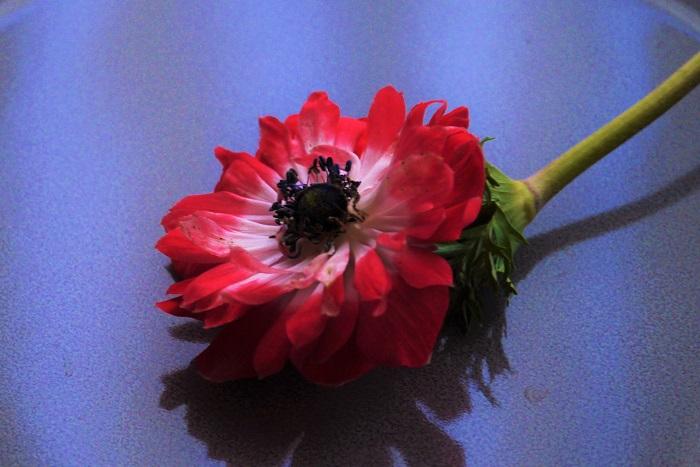 科名:キンポウゲ科 開花期:2月~5月 分類:多年草(球根植物) アネモネは特徴的な花芯と透けるような花びらが魅力の球根植物です。花色は赤の他に、白、ピンク、紫、グリーン、複色などがあります。